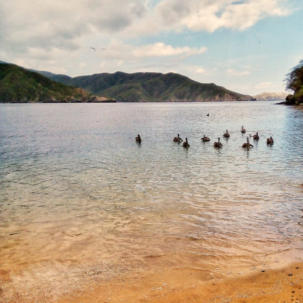 foto-de-pelicanos-bahia-concha-parque-tayrona